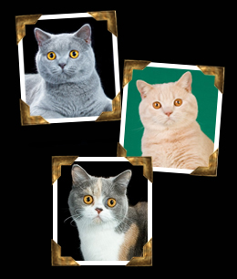 British Shorthairs